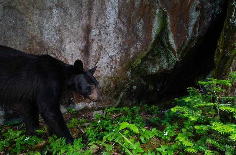 black bear size crop-8945.jpg