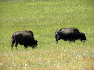 Buffalo in Yellowstone National Park, WY