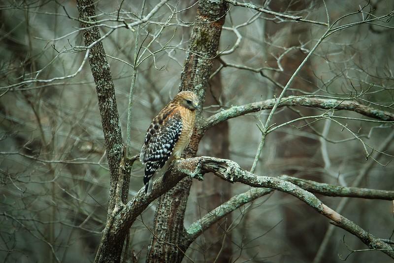 3.10.19 - Key Road, Rogers: Red-Shouldered Hawk
