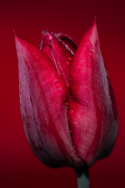 Red flower -tulip.jpg