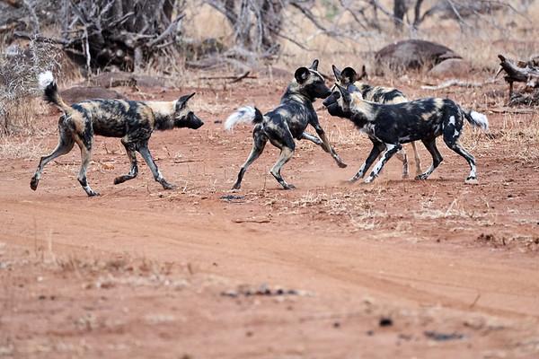 MalaMala Wild Dogs Playing South Africa 2019