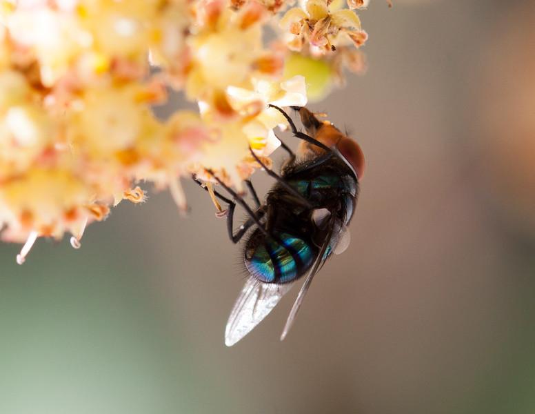 fly on mango blossom-3.jpg