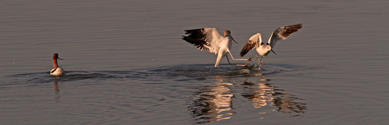avocetsfightingwhilebreedingfemalewatches1600.jpg