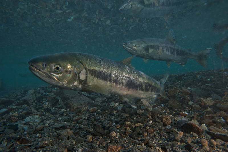 Chum Salmon spawning on the Chilkat River in Alaska. Female Chums clear a spawning bed before laying eggs, the male waits patiently to fertilize the eggs. The Chilkat is home to the world's largest concentration of Bald Eagles, who descend on the valley for the late season salmon run.