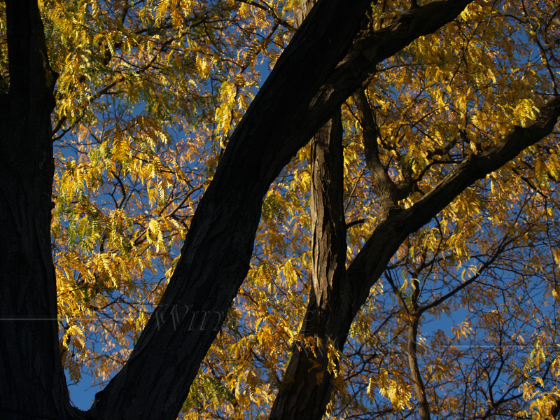 Autumn Glow on Honey Locust Branches (Gleditsia triacanthos)