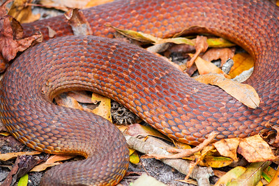 Redbelly Water Snakes