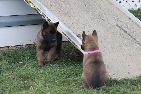 Nia puppies 5 weeks