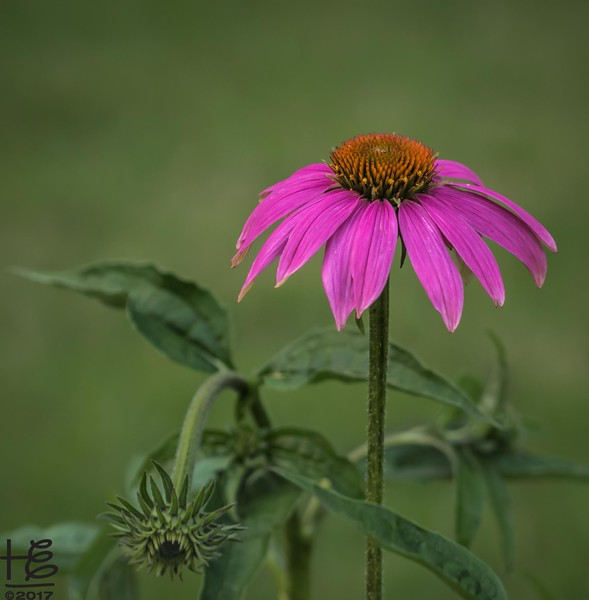 A brilliant coneflower