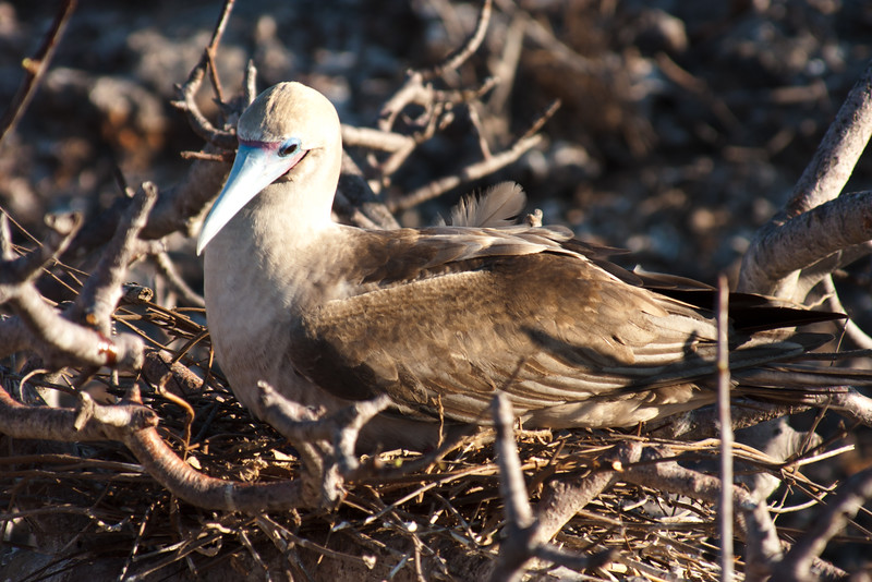 Red Footed Booby : Journey into Genovesa Island in the Galapagos Archipelago