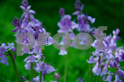 Bluebells song...