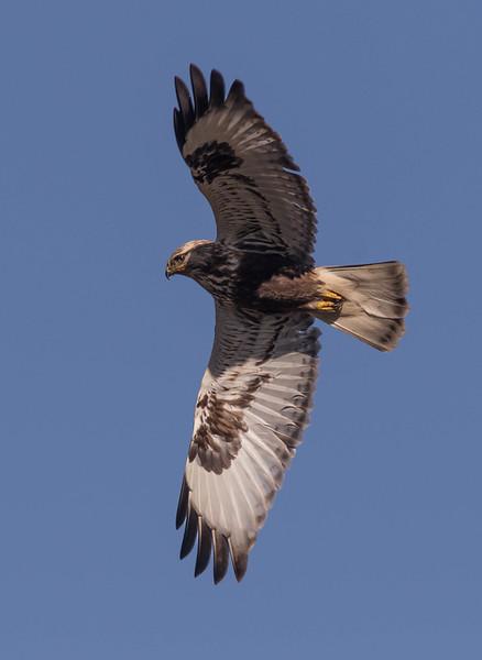 Rough Legged Hawk Flyover