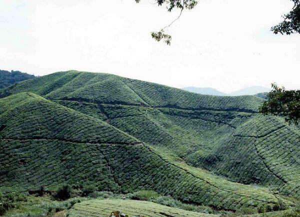 Boh Tea Plantation.jpg