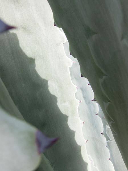 Cactus 3, Campbell, California, 2010