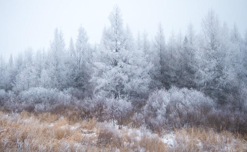 Hoar frost Tamaracks Sax-Zim Bog MN IMG_1986.jpg
