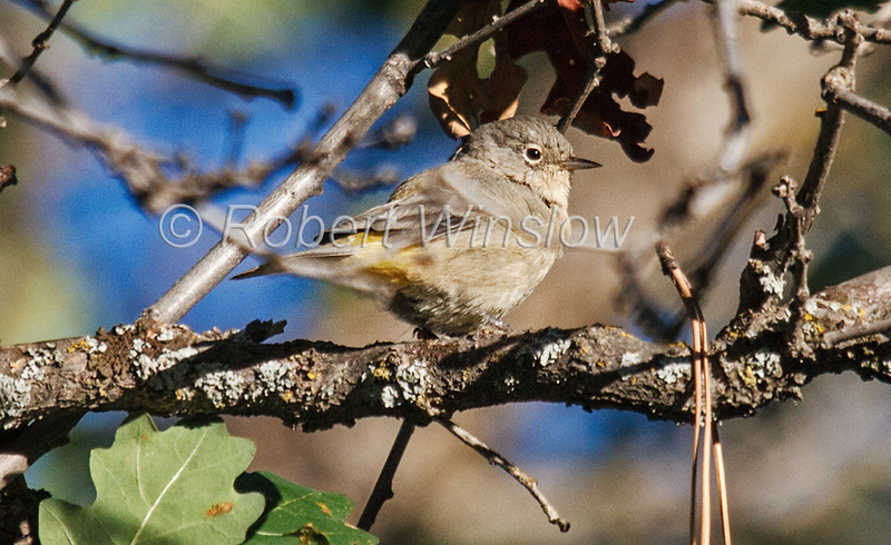 Virginia's Warbler, Oreothlypis virginiae, La Plata County, Colorado, USA, North America