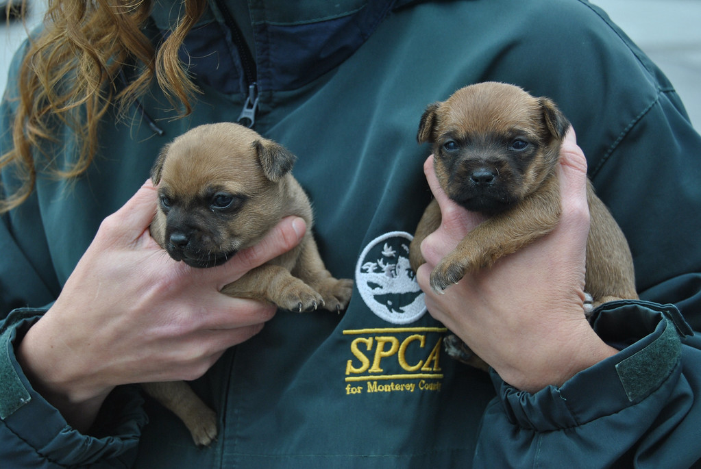 . Four puppies were among the animals taken from deplorable conditions. (SPCA for Monterey County)