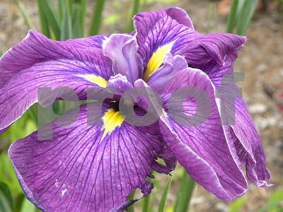 louisiana-iris-contributes-to-brilliant-spring-color