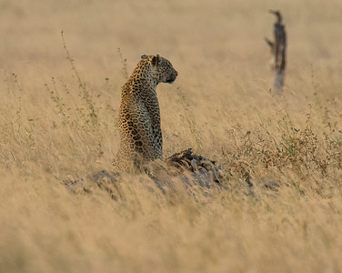 Wilson's Leopard photos