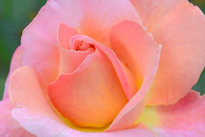 Tea Rose-Elle