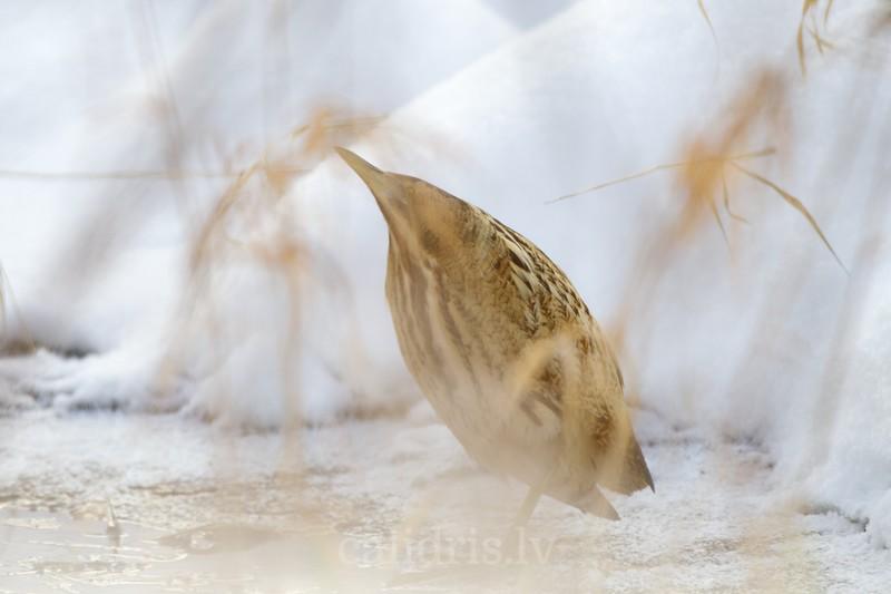 Eurasian bittern hiding in reeds