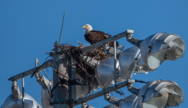 Bald Eagle Nest - BE994 - December 29, 2020
