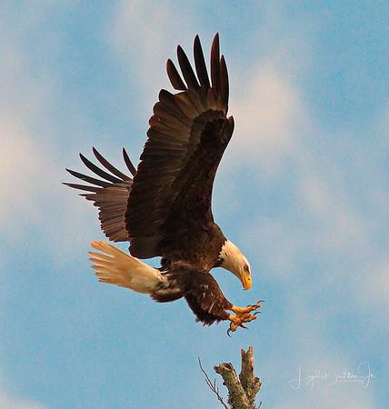 Eagles & Sunsets   2-15-18