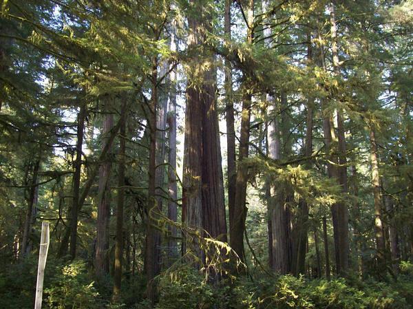 Redwoods at Oregon Border