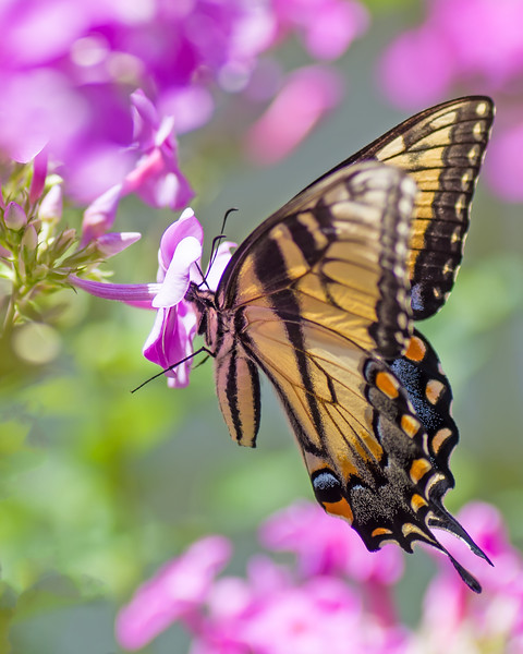 Swallowtail in the Phlox