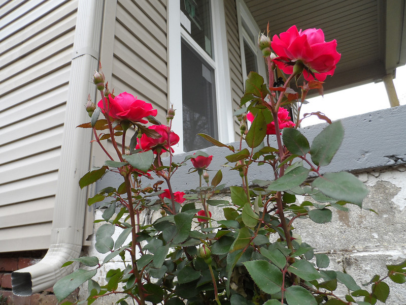 Roses planted by Youth Build volunteers outside the once-vacant house that will become home for Connie Cash.