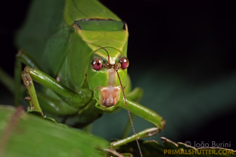 Frontal portrait of a giant katydid