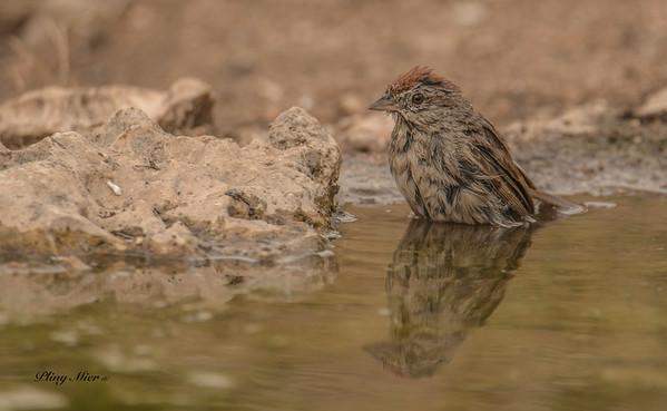 Rufous-crowned Sparrow_DWL1897.jpg