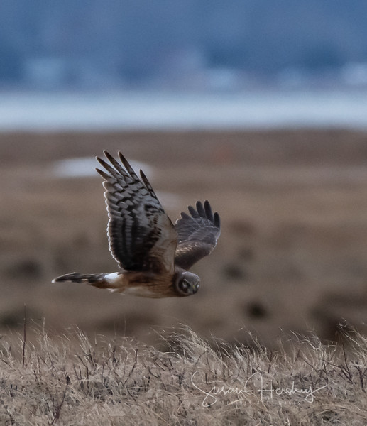 Northern Harrier fly by logo