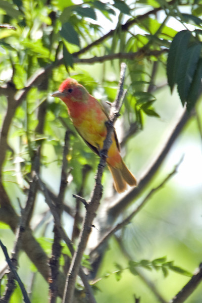 Summer Tanager (juv.) This one is still too young to produce the solid red coloring of a breeding adult.