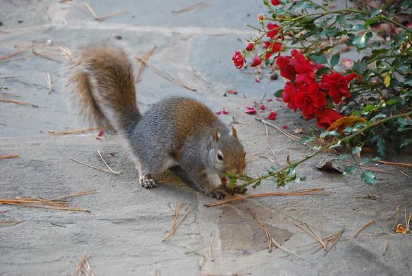 Squirrels eat roses 2009-11-28