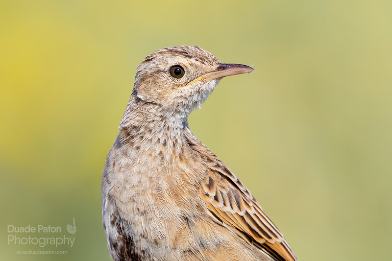 Brown Songlark (Female)