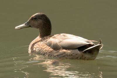 Hawaiian Ducks