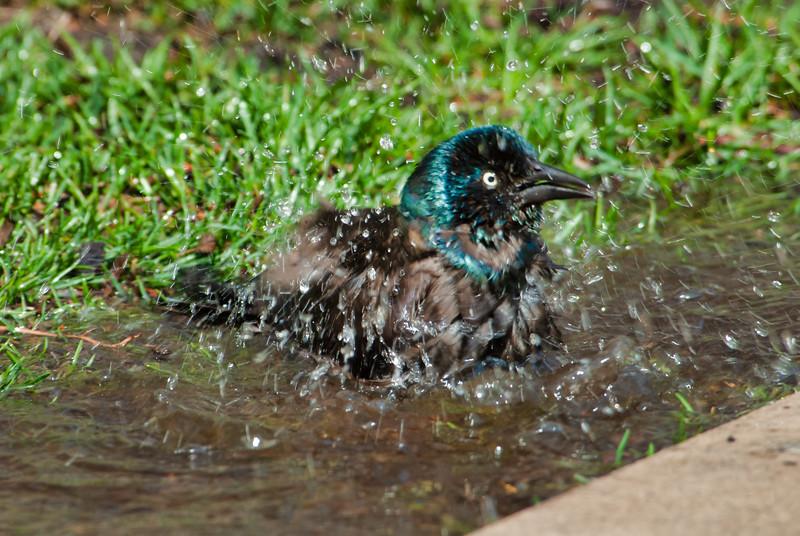 common grackle bathing.jpg