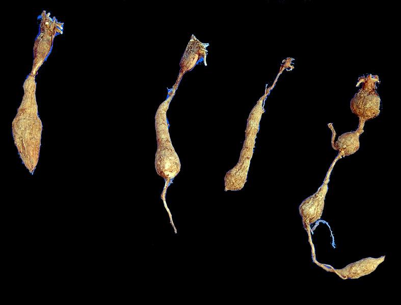 Pel ternifolium tubers2.jpg