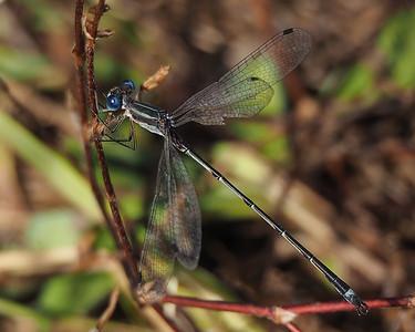 Lestidae - Spreadwings