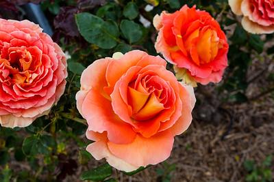 National Rose Garden