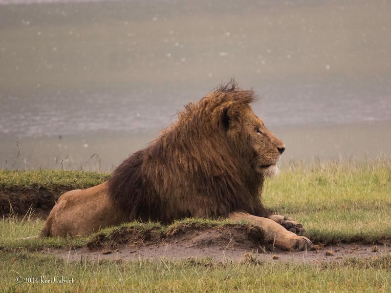 Lions Ngororgoro - K-2.jpg