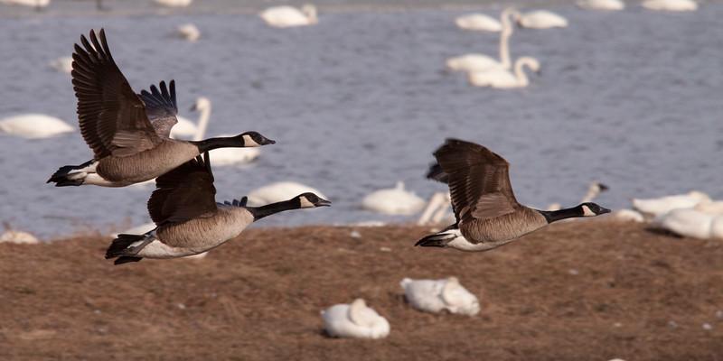 2011 swan migration aylmer (50 of 51).jpg