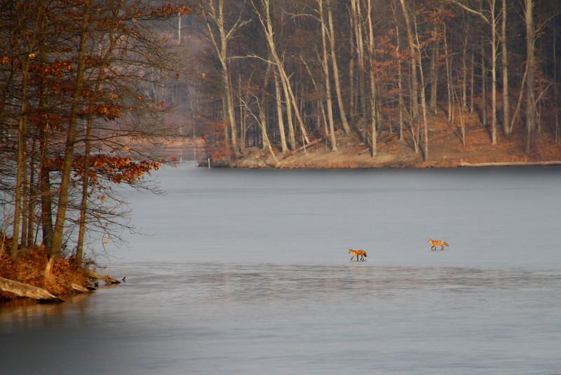 Foxes on lake.  Little Lake Seneca, Germantown, MD
