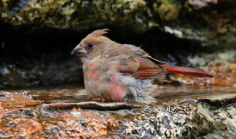Cardinal IMG_2317.jpg