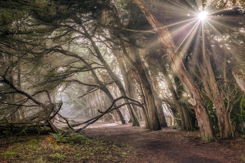 Light Through the Cypress, Sea Ranch, California
