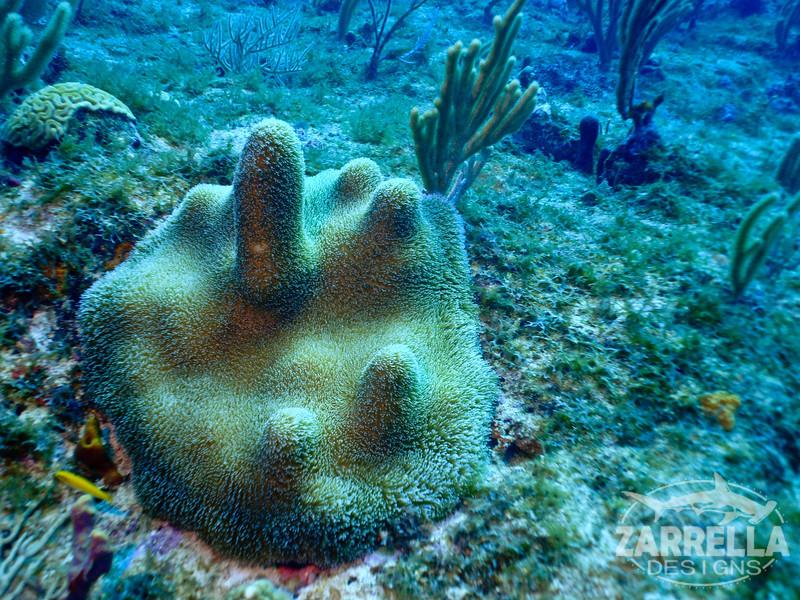 """""""Pillar Coral"""" (Proselyte Wreck, St. Maarten)"""