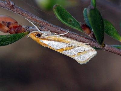 Hypertrophidae - Twig Moths
