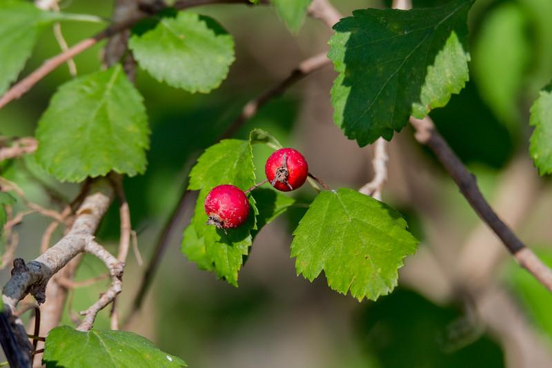 Crataegus viridis - Green Hawthorn