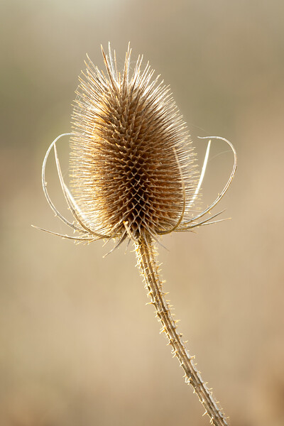 Backlit Teasel