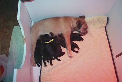 Border Terrier Purview